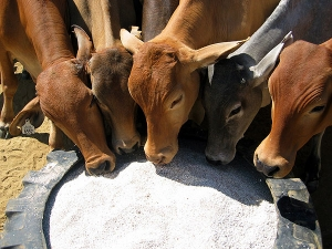 dry season cattle feed