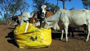 dry season cattle feed